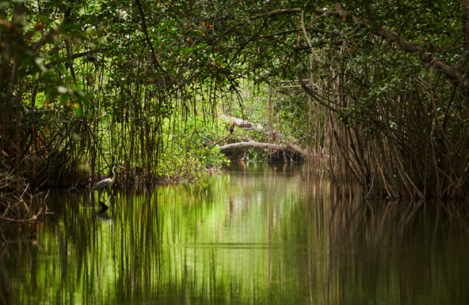 Part of the mangrove forest in Cispata Bay, Colombia.
