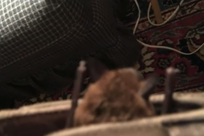 An Elderly Man In New Hampshire Found Unpleasant Surprise Lurking His Ipad Case As He Sat Down To Read The News A Rabid Bat