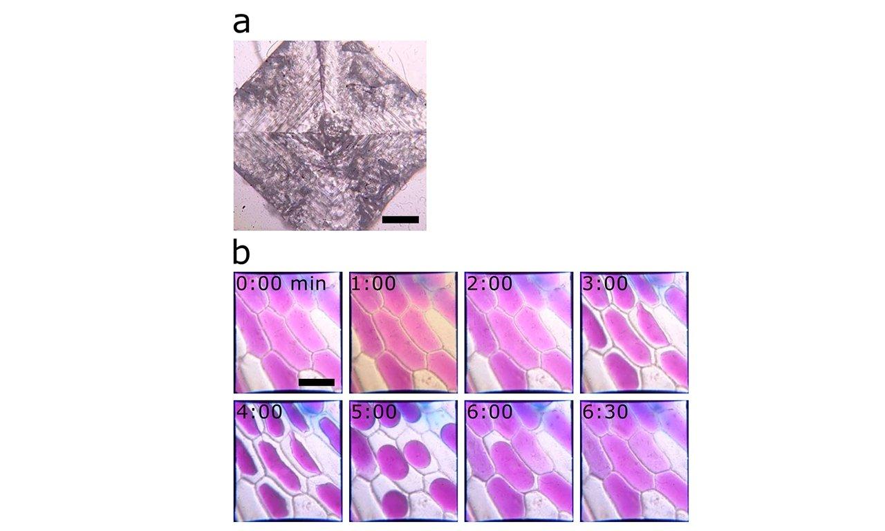 а) вид на кристалл хлорида натрия и б) луковые клетки |  Изображение предоставлено: Вос, Блеза, Бец