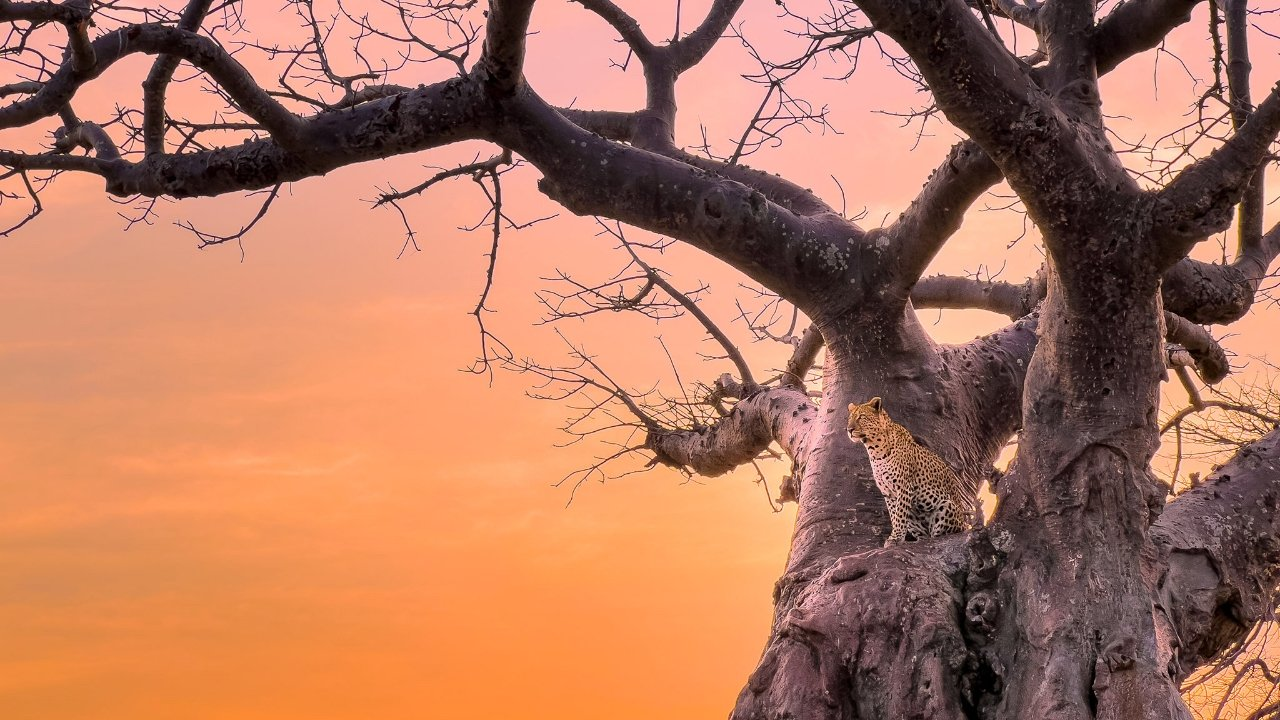 An adult leopard in a tree. Image credit: Austin Mann