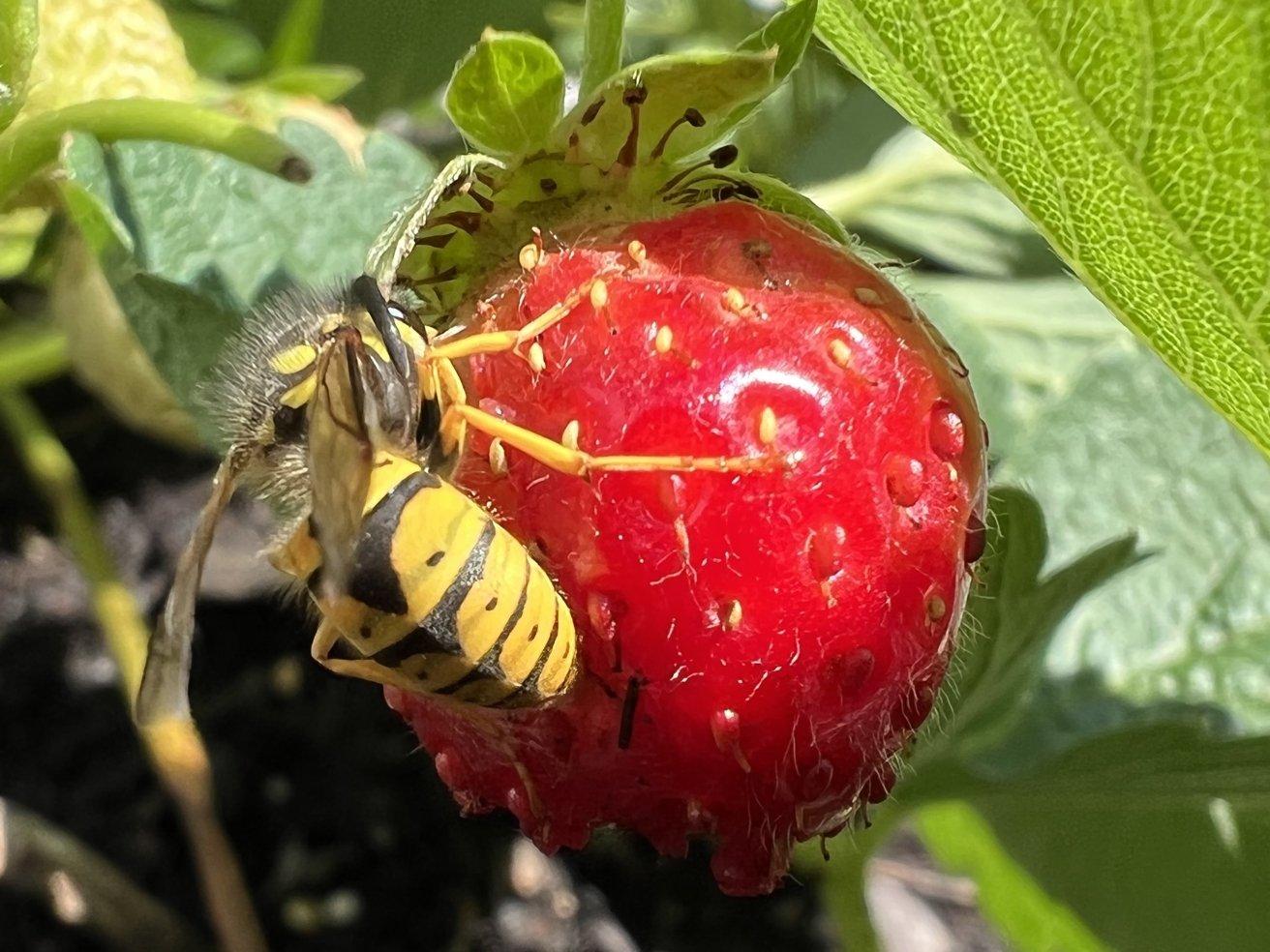 Yellow Jacket Wasp in macro